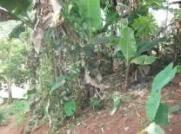 Lombricompostage des déchets Yaoundé - Banane plantain
