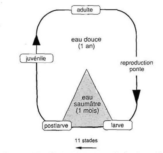 Différents stades du cycle biologique de M. vollenhovenii