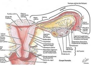 Anatomie de l'appareil génitale féminin